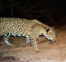 project wildcat protect jaguars in the sonoran desert the