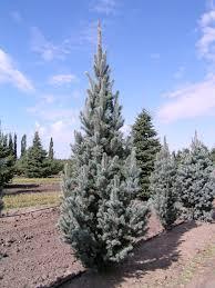 blue spruce columnar blue spruce picea pungens fastigiata foothills nurseries