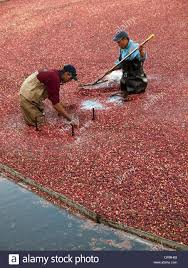 workers harvesting cranberries from cranberry bog in cape cod