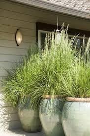 purple grass on my patio garden plants