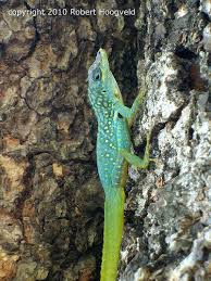 Seeking Lizard Wanted Seeking Various Uncommon Lizards See Within Archive