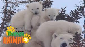 polar bear animals for children kids videos kindergarten