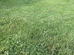 clover in the lawn good or bad green home landscape source