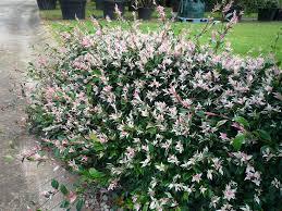 australian native ground cover plants jasmine trachelospermum tricolour