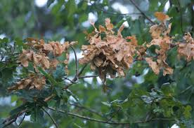 patches of dead leaves in oak trees ask an expert