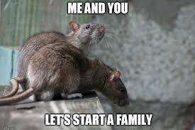 Rat Meme - why are rats the most preferred animals for experiments 盪 science abc