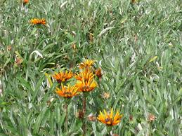 native plants adelaide 5 plants you shouldn u0027t grow good living