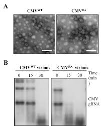 Viral Disease In Plants Page 489 Cucumber Mosaic Virus Coat Protein Modulates The Accumulation Of 2b