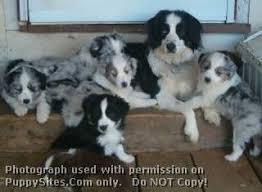 lazy d ranch australian shepherds 23 best miniature australian shepherd dogs u0026 puppies images on