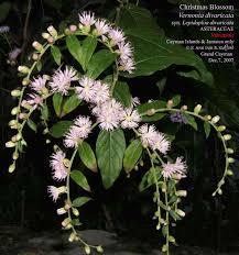 caymannature cayman plants christmas blossom cayman caymannature