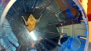 Bat Light Fixture Three Students Rescue A Brown Bat From A Liberty Light