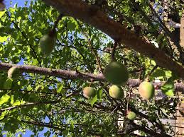 growing edible plant scene in phoenix brings native fruits to