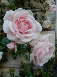 rosa u0027new dawn u0027 pale pink climbing rose we use them at