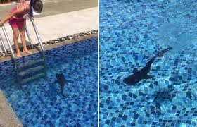 what was this baby whale shark doing in a maldives swimming pool