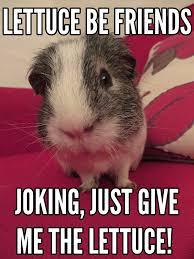 Guinea Pig Meme - guinea pig meme hutch a good life