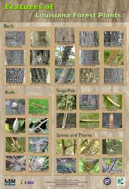 native plants of louisiana plants of louisiana forests mini poster series