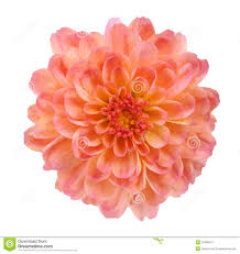 peach flower clipart mums flower pencil and in color peach