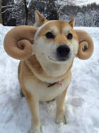 What Breed Is Doge Meme - doge ram doge know your meme