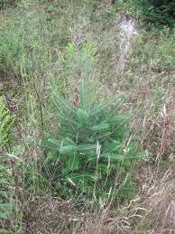 balsam christmas tree balsam fir tree watts tree farm