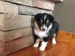 south dakota australian shepherd view ad australian shepherd puppy for sale colorado durango usa