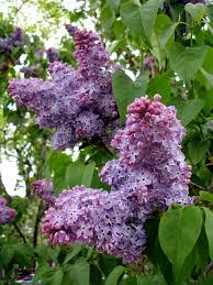 reasons for lilac flowers that have no smell