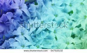 turquoise flowers blue turquoise lilies flowers on turquoisepurpleblue stock photo