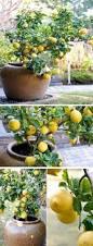 Indoor Vegetable Container Gardening - 2779 best backyard vegetable and fruit gardening images on
