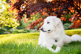american eskimo dog growth chart great pyrenees dog breed information pictures characteristics