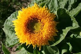 teddy sunflowers sunflower sungold teddy oregon wholesale seed company