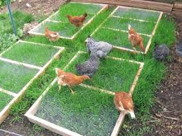 Can You Have Chickens In Your Backyard Free Grazing Frame Plans For Backyard Chickens Coop Thoughts Blog