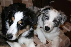 4 week old australian shepherd what to feed your australian shepherd