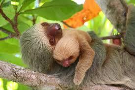 4 toed sloth sloth manuel antonio birdwatching wildlife and photography