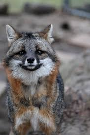 Delaware travel fox images A young gray fox who looks like he 39 s too frightened to move too jpg