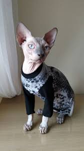 sphynx sweaters 83 best abcsphynx images on cat cat cat sweaters and