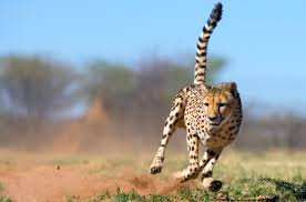 how acting like a cheetah can make you more productive
