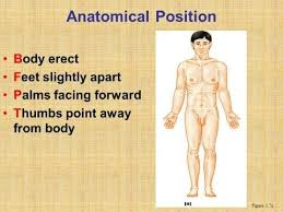 Picture Of Anatomical Position What Is Meant By Correct Anatomical Position Quora