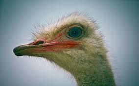 ostrich tag wallpapers ostrich animals bird pet birds wallpapers