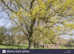 leaves on oak quercus trees berkshire uk stock photo
