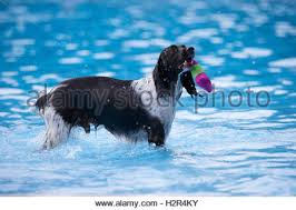 dog swimming in water with toy bone in mouth side view stock