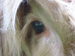 highland cow eye free stock photo public domain pictures