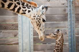 Houston Zoo Lights Prices by Houston Zoo Finds New Problem With Baby Giraffe Decides To