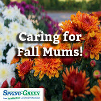 late season bloomers care fall mums