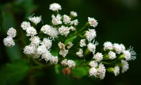 native american plants used for healing medicinal plants white snakeroot