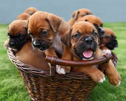 boxer dog for adoption boxer puppies for sale features u0026 behavior