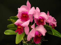 pictures of orchids welcome to orchids by hausermann on line orchid catalog