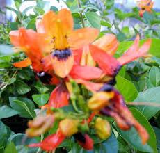 amazon com hummingbird bush unique unusual tropical live plant