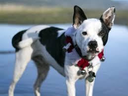 bluetick coonhound terrier mix boston terrier mixes