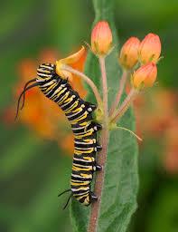 plants native to alabama host and nectar plants alabama butterfly atlas