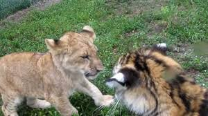 national geographic baby lion vs tiger cute fight documentary