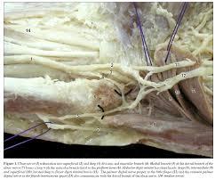 anatomy ulnar nerve image collections learn human anatomy image